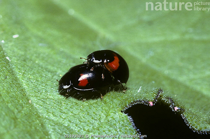 10 Spot Ladybird Adalia Punctata Forma Bimaculata Mating Pair Of The 2 Spotted Form UK
