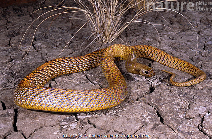 Inland taipan {Oxyuranus microlepidotus} investigating cracks in dried earth for its prey, the Long haired rat, Goyders Lagoon, South Australia  ,  AUSTRALIA,REPTILES,SNAKES,TAIPANS,VERTEBRATES  ,  Robert Valentic