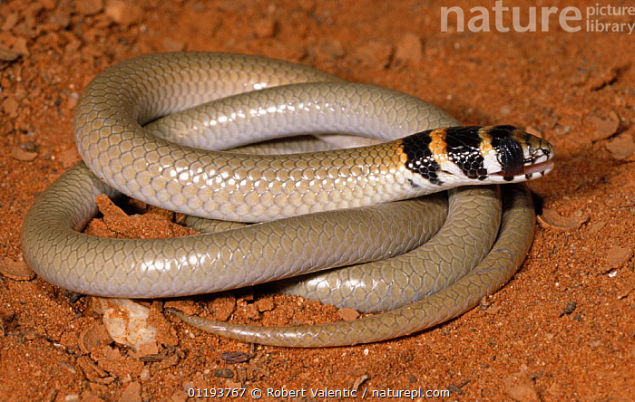 Legless lizard {Delma tincta} cleaning dust from its eyes with its broad fleshy tongue, Sturt NP, New South Wales, Australia, AUSTRALIA,BEHAVIOUR,ENDANGERED,EYES,GROOMING,LICKING,REPTILES,SNAKES,VERTEBRATES,Lizards, Robert Valentic