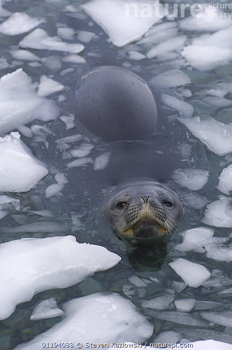 Weddell seal (Leptonychotes weddellii) at surface of icy waters of the western Antarctic Peninsula, Southern Ocean  ,  ANTARCTICA,CARNIVORES,FACES,ICE,MAMMALS,PINNIPEDS,PORTRAITS,SEALS,SOUTHERN OCEAN,SWIMMING,VERTEBRATES,VERTICAL, CARNIVORES , CARNIVORES ,Catalogue1  ,  Steven Kazlowski