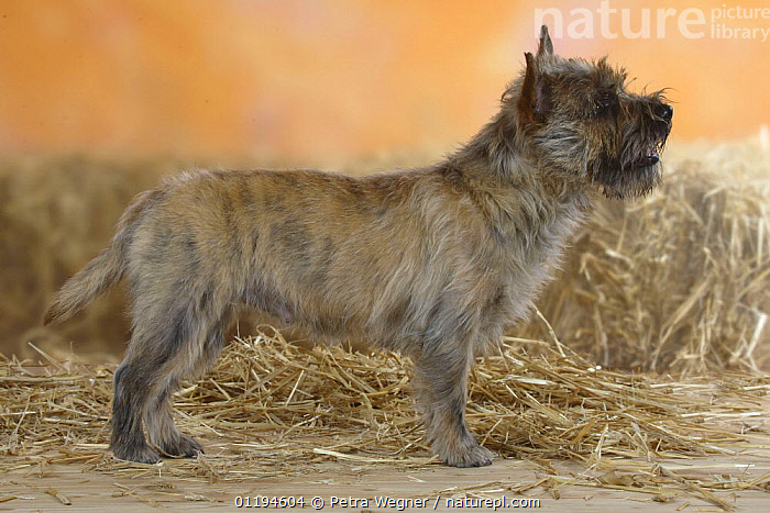 Cairn Terrier standing in show stack/pose  ,  DOGS,PEDIGREE,PETS,POSING,SMALL,STUDIO,TERRIERS,VERTEBRATES,Canids  ,  Petra Wegner