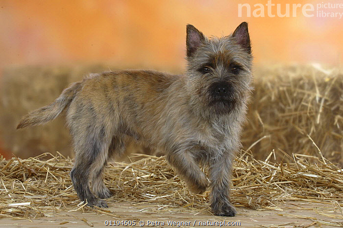 Cairn Terrier standing with one paw raised.  ,  DOGS,PEDIGREE,PETS,SMALL,STUDIO,TERRIERS,VERTEBRATES,Canids  ,  Petra Wegner