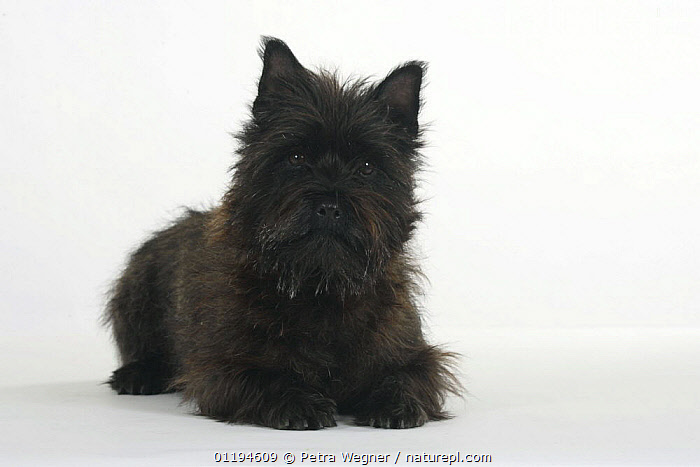 Black Cairn Terrier lying down with head up.  ,  CUTOUT,DOGS,PEDIGREE,PETS,SMALL,STUDIO,TERRIERS,VERTEBRATES,Canids  ,  Petra Wegner