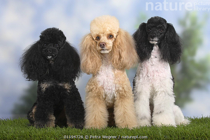 Nature Picture Library - Three Miniature Poodles, black-and-tan