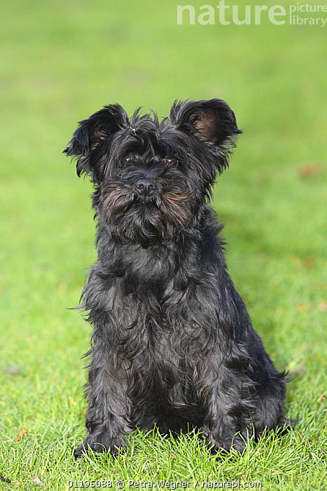 Ungroomed Black Miniature Schnauzer sitting portrait, NONSPORTING DOGS,OUTDOORS,PEDIGREE,PETS,UTILITY DOGS,VERTEBRATES,VERTICAL,Dogs,Canids, Petra Wegner