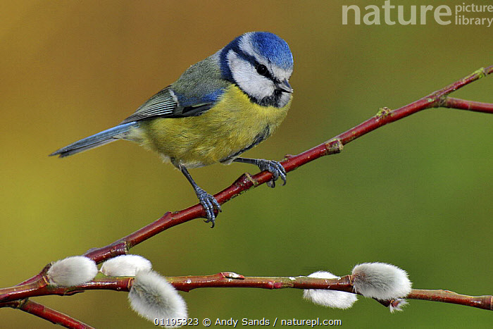 Blue tit (Parus caeruleus) perched among Pussy willow, West Sussex, England, UK, BIRDS,CUTOUT,EUROPE,SPRING,TITS,UK,VERTEBRATES,United Kingdom,British, Andy Sands
