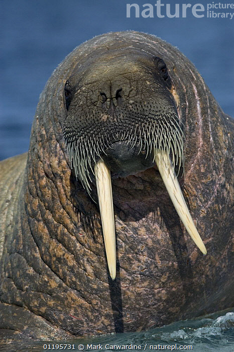 Walrus (Odobenus rosmarus), Igloolik, Foxe Basin, Nunavut, Arctic Canada, ARCTIC,CARNIVORES,COLD,HEADS,MAMMALS,MARINE,NORTH AMERICA,PINNIPEDS,PORTRAITS,SURFACE,TUSKS,VERTEBRATES,VERTICAL,WALRUSES, Mark Carwardine