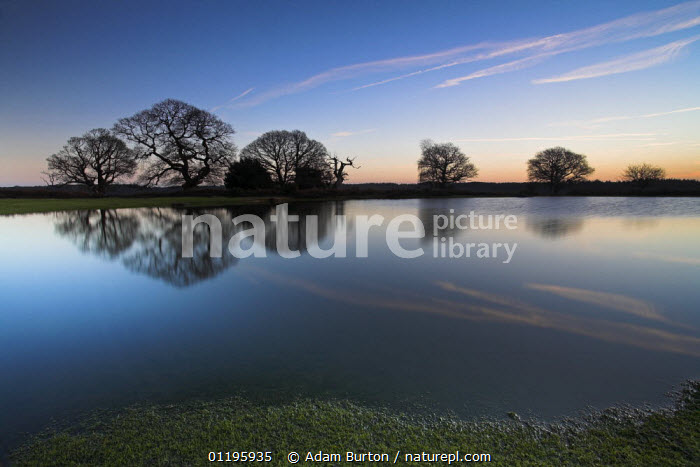 Silhouetted oak trees reflect in pond, New Forest National Park, Hampshire, England  ,  EUROPE,FAGACEAE,LAKES,NP,OAK TREE ,OAKS,QUERCUS SP,RESERVE,SILHOUETTES,SUNRISE,SUNSET,TREES,UK,WATER,WINTER,United Kingdom,Plants,British,National Park,ENGLAND, United Kingdom, United Kingdom  ,  Adam Burton