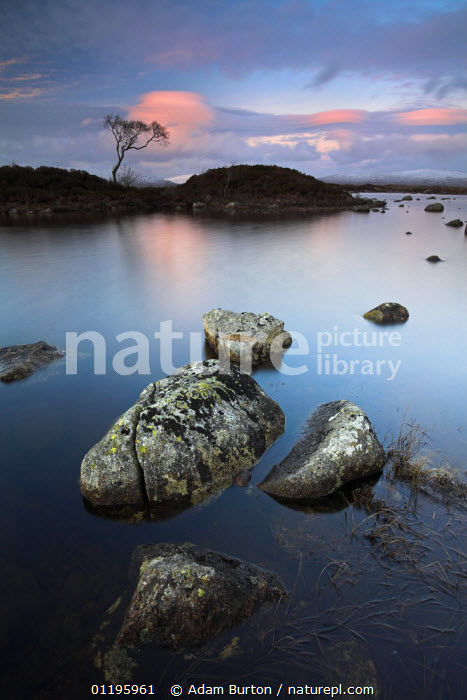 A lone tree stands isolated at Lochan Nah-Achlaise in Rannoch Moor  ,  EUROPE,GRANITE,LAKES,LANDSCAPES,LOCHS ,MOORLAND,PEACEFUL,REFLECTIONS,RESERVE,ROCKS,SUNRISE,SUNSET,UK,VERTICAL,United Kingdom,Concepts,British,SCOTLAND, United Kingdom, United Kingdom  ,  Adam Burton