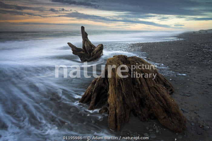 Waves wash around large pieces of driftwood on Gillespies Beach, West Coast, South Island,  New Zealand  ,  AUSTRALASIA,BEACHES,COASTS,LANDSCAPES,NEW ZEALAND,TREES,WOOD,Plants  ,  Adam Burton