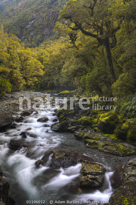 Rocky river in Fiordland National Park, South Island, New Zealand  ,  AUSTRALASIA,LANDSCAPES,NEW ZEALAND,NP,PLANTS,RESERVE,RIVERS,TEMPERATE RAINFOREST,TREES,VERTICAL,National Park  ,  Adam Burton