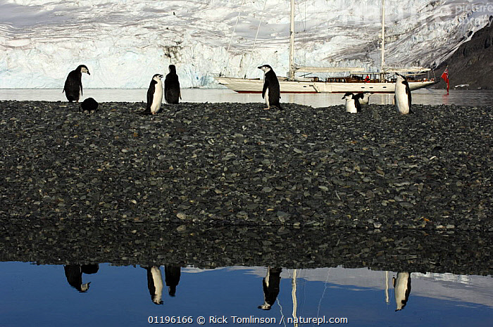 """Adult chinstrap penguins (Pygoscelis antarctica) on a shale bar with SY """"Adele"""" anchored in the distance, Yankee Harbour, Antarctica, January 2007 Non editorial uses must be cleared individually.  ,  ANCHORAGES,ANTARCTICA,BIRDS,BOATS,concepts,FLIGHTLESS,GROUPS,HORIZONTAL,KETCHES,MOORED,PENGUINS,POLAR,REFLECTIONS,SAILING BOATS,SEABIRDS,SUPERYACHTS,VERTEBRATES,YACHTS, SAILING-BOATS , SAILING-BOATS , SAILING-BOATS  ,  Rick Tomlinson"""