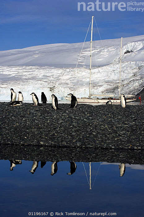 """Adult chinstrap penguins (Pygoscelis antarctica) on a shale bar with SY """"Adele"""" anchored in the distance, Yankee Harbour, Antarctica, January 2007 Non editorial uses must be cleared individually.  ,  ANTARCTICA,BIRDS,BOATS,concepts,CRUISING,FLIGHTLESS,GROUPS,KETCHES,MOORED,PENGUINS,POLAR,REFLECTIONS,SAILING BOATS,SEABIRDS,SUPERYACHTS,VERTEBRATES,VERTICAL,YACHTS, SAILING-BOATS , SAILING-BOATS , SAILING-BOATS  ,  Rick Tomlinson"""