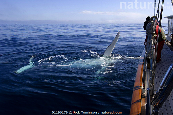 """A humpback whale (Megaptera novaeangliae) plays alongside SY """"Adele"""" in the Gerlache Strait, Antarctica, January 2007  ,  ABOARD,ANTARCTICA,BOATS,cetaceans,FINS,KETCHES,MAMMALS,PEOPLE,POLAR,SAILING BOATS,SUPERYACHTS,SURFACE,VERTEBRATES,whale watching,WHALES,YACHTS, SAILING-BOATS , SAILING-BOATS  ,  Rick Tomlinson"""