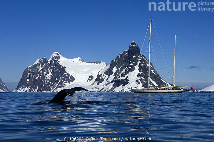 """A humpback whale (Megaptera novaeangliae) flukes its tail near SY """"Adele"""", 180 foot Hoek Design, in the Lemaire Channel, Antarctica, January 2007. Non editorial uses must be cleared individually.  ,  BOATS,BREACHING,cetaceans,FLUKES,HORIZONTAL,KETCHES,LANDSCAPES,MAMMALS,MOUNTAINS,PROFILE,SAILING BOATS,SNOW,SUPERYACHTS,SURFACE,TAILS,VERTEBRATES,WHALES,whale watching,YACHTS, SAILING-BOATS , SAILING-BOATS , SAILING-BOATS , SAILING-BOATS  ,  Rick Tomlinson"""