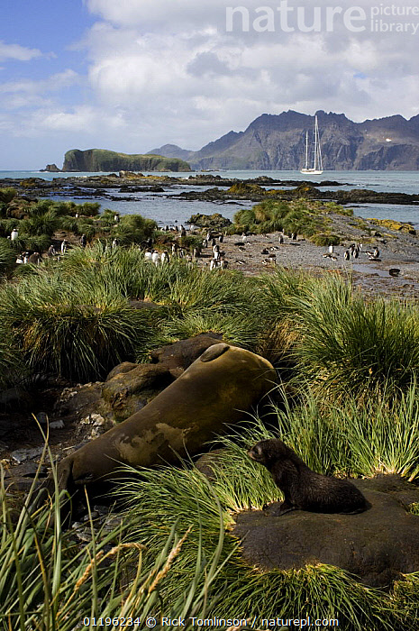 """Fur seals (Arctocephalus gazella) in the grass tussock and a group of gentoo penguins (Pygoscelis papua) on the shoreline, with SY """"Adele"""" anchored in the distance. Prion Island, South Georgia, February 2007  ,  ANTARCTICA,BABIES,BIRDS,BOATS,CARNIVORES,CENTRAL AMERICA,COASTS,FLIGHTLESS,FUR SEALS,ketch,KETCHES,LANDSCAPES,MAMMALS,MIXED SPECIES,PINNIPEDS,pup,SAILING BOATS,SEABIRDS,SOUTH AMERICA,SUPERYACHTS,VERTEBRATES,VERTICAL,YACHTS,YOUNG, CARNIVORES , SAILING-BOATS , CARNIVORES ,SOUTH-AMERICA,FALKLAND ISLANDS, SAILING-BOATS , CARNIVORES  ,  Rick Tomlinson"""