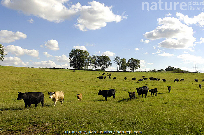 Cattle (Bos taurus) with calves in grass field, Northumberland, UK  ,  ARTIODACTYLA,BABIES,BOVIDS,CATTLE,COW,COWS,EUROPE,FARMLAND,HERDS,LANDSCAPES,LIVESTOCK,MAMMALS,UK,VERTEBRATES,United Kingdom,British  ,  Rob Cousins