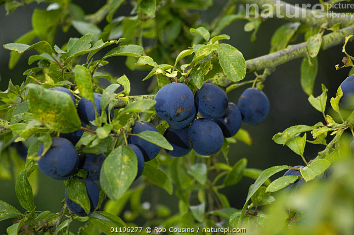 Damsons (Prunus domestica insititia), UK  ,  CROPS,DICOTYLEDONS,EUROPE,FRUIT,LEAVES,PLANTS,PURPLE,ROSACEAE,UK,United Kingdom,British  ,  Rob Cousins