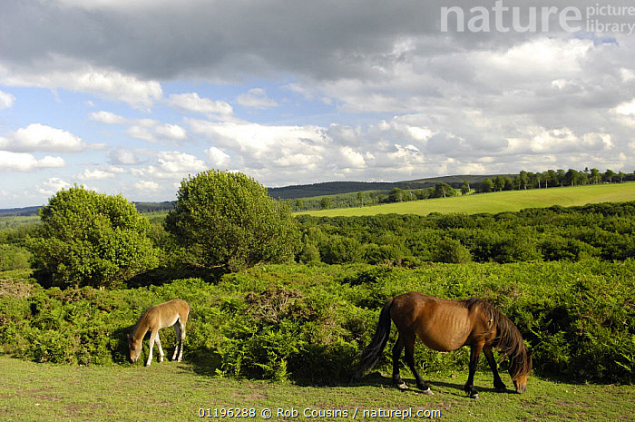 Pony and foal grazing on the Quantock Hills, Somerset, UK  ,  ARTIODACTYLA,EUROPE,FOALS,HORSES,JUVENILE,LANDSCAPES,MOTHER BABY,QUANTOCKS,TREES,UK,WILD,United Kingdom,Plants,British,ENGLAND  ,  Rob Cousins