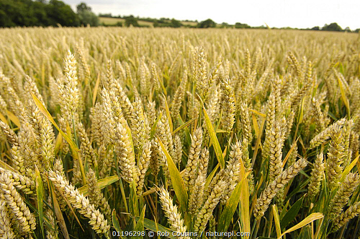 Field of Wheat (Triticum aestivum) growing in Suffolk, UK  ,  CROPS,EUROPE,GRAMINEAE,GRASSES,LANDSCAPES,MONOCOTYLEDONS,PLANTS,POACEAE,UK,United Kingdom,British  ,  Rob Cousins