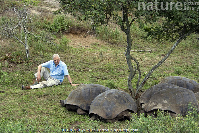 """Sir David Attenborough sitting with group of Giant Tortoises (Geochelone elephantopus) Galapagos. Filmed for BBC television series """"Life in Cold Blood"""", May 2006  ,  BBC,CHELONIA,GALAPAGOS,GROUPS,LIFE IN COLD BLOOD,NHU,PEOPLE,PRESENTER,REPTILES,SIR DAVID ATTENBOROUGH,SIZE,TORTOISES,VERTEBRATES, Tortoises  ,  Miles Barton"""