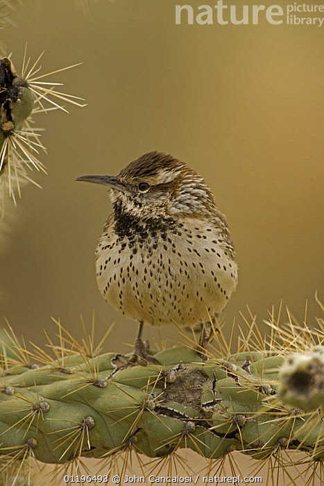 Cactus Wren (Campylorhnchus brunneicapillus) perched on Cholla cactus (Opuntia sp.), Arizona, USA  ,  BIRDS,CACTI,NORTH AMERICA,PORTRAITS,SPINES,USA,VERTEBRATES,VERTICAL,WRENS,Plants  ,  John Cancalosi