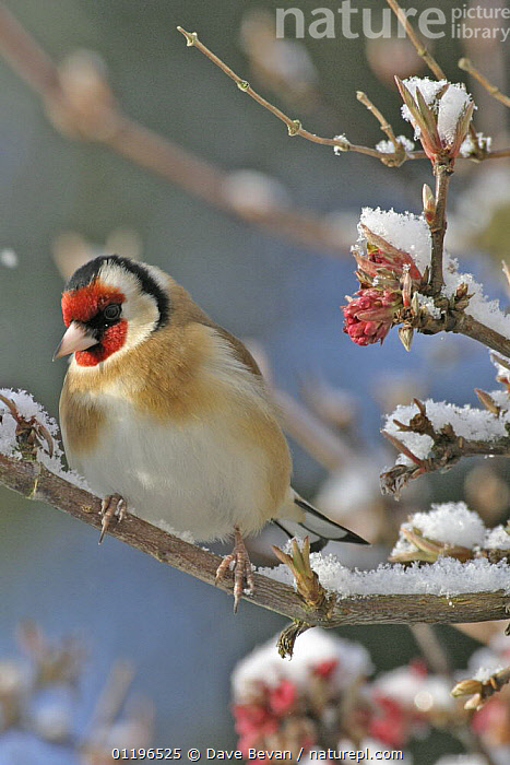 Goldfinch (Carduelis carduelis) on snow covered branch, Wales, UK  ,  BIRDS,EUROPE,FINCHES,UK,VERTEBRATES,VERTICAL,WALES,WINTER,United Kingdom,British  ,  Dave Bevan