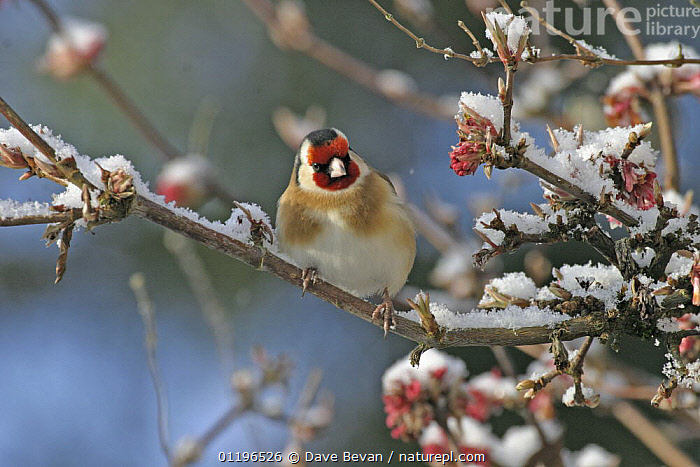 Goldfinch (Carduelis carduelis) on snow covered branch, Wales, UK  ,  BIRDS,EUROPE,FINCHES,UK,VERTEBRATES,WALES,WINTER,United Kingdom,British  ,  Dave Bevan