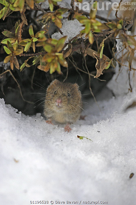 Bank vole (Clethrionomys glareolus) coming out of burrow under snow, Carmarthenshire, Wales, UK February  ,  BURROWS,EUROPE,MAMMALS,RODENTS,UK,VERTEBRATES,VERTICAL,VOLES,WALES,WINTER,United Kingdom,British,Muridae  ,  Dave Bevan