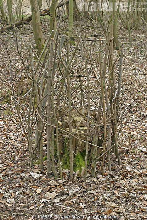 Ring of sticks round coppiced Hazel stool for protection against Deer grazing, Norfolk, UK March 2006  ,  COPPICE,COPPICING,EUROPE,MANAGEMENT,PESTS,TREES,UK,VERTICAL,WOODLANDS,United Kingdom,Plants,British,ENGLAND  ,  Dave Bevan