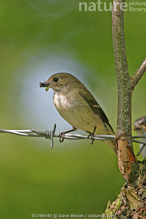 Pied flycatcher (Ficedula hypoleuca) female with insect prey on barbed wire, Wales, UK, June  ,  BIRDS,EUROPE,FEEDING,FEMALES,FLYCATCHERS,INSECTS,UK,VERTEBRATES,VERTICAL,WALES,United Kingdom,Invertebrates,British  ,  Dave Bevan