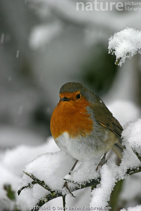 Robin (Erithacus rubecula) perched in snow, Wales, UK, February  ,  BIRDS,CHATS,EUROPE,PORTRAITS,UK,VERTEBRATES,VERTICAL,WINTER,United Kingdom,British  ,  Dave Bevan
