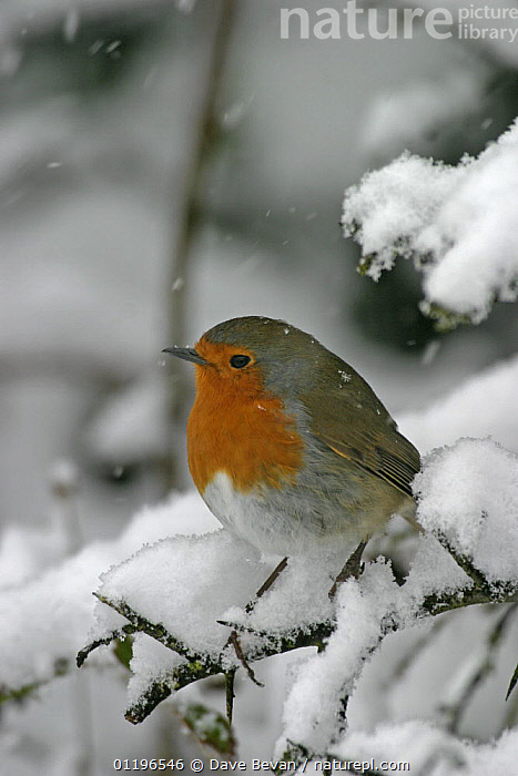 Robin (Erithacus rubecula) perched in snow, Wales, UK, February  ,  BIRDS,CHATS,EUROPE,SNOWING,UK,VERTEBRATES,VERTICAL,WALES,WINTER,United Kingdom,British  ,  Dave Bevan