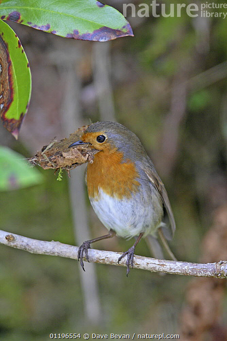 Robin (Erithracus rubecula) perched on branch with beak full of dead leaves for nest building, Wales, UK, March  ,  BIRDS,CHATS,EUROPE,NESTING BEHAVIOUR,UK,VERTEBRATES,VERTICAL,WALES,United Kingdom,Reproduction,British  ,  Dave Bevan
