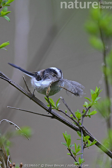 Long tailed tit (Aegithalos caudatus) with feather in beak for nest buidling, UK, April  ,  BIRDS,CARRYING,EUROPE,FEATHERS,NESTING BEHAVIOUR,SPRING,TITS,UK,VERTEBRATES,VERTICAL,United Kingdom,Reproduction,British  ,  Dave Bevan