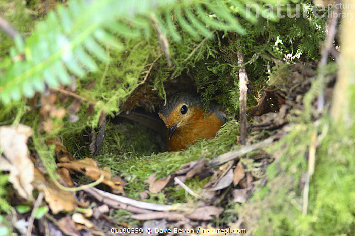 Robin (Erithacus rubecula) in nest lined with moss, Wales, UK, April  ,  BIRDS,CHATS,EUROPE,HEDGEROWS,NESTS,UK,VERTEBRATES,WALES,United Kingdom,British  ,  Dave Bevan