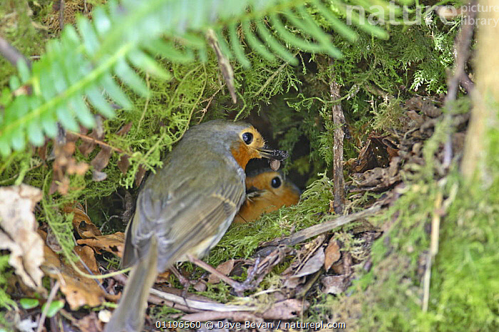 Robin (Erithacus rubecula) male bringing insect prey to feed female in nest lined with moss, Wales, UK, April  ,  BIRDS,CHATS,EUROPE,FEEDING,HEDGEROWS,INSECTS,MALE FEMALE PAIR,NESTING BEHAVIOUR,NESTS,UK,VERTEBRATES,WALES,United Kingdom,Reproduction,Invertebrates,British  ,  Dave Bevan