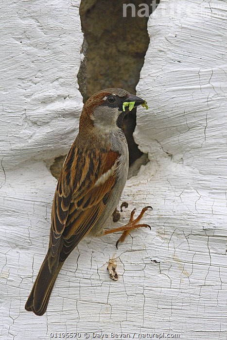 Common / House sparrow (Passer domesticus) male brings food to young in nest hole in stone wall, Carmarthenshire, Wales, UK, May  ,  BEHAVIOUR,BIRDS,BUILDINGS,EUROPE,FEEDING,MALES,NESTS,SPARROWS,UK,VERTEBRATES,WALES,United Kingdom,British  ,  Dave Bevan