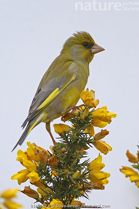 Greenfinch (Carduelis chloris) male perched on Gorse, Wales, UK, May  ,  BIRDS,EUROPE,FINCHES,FLOWERS,HEATHLAND,MALES,UK,VERTEBRATES,VERTICAL,WALES,United Kingdom,British  ,  Dave Bevan