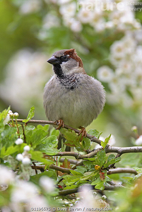 House / Common sparrow (Passer domesticus) male in Hawthorn tree with feathers fluffed up, Wales, UK, May  ,  BIRDS,EUROPE,MALES,SPARROWS,THERMOREGULATION,UK,VERTEBRATES,VERTICAL,WALES,United Kingdom,British  ,  Dave Bevan