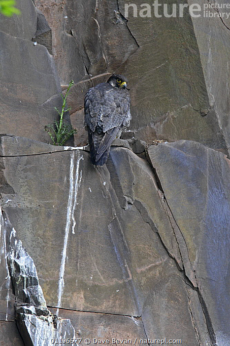 Peregrine falcon (Falco peregrinus) perched on rock ledge below cliff nest, Wales, UK, May  ,  BIRDS,BIRDS OF PREY,CLIFFS,EUROPE,EYRIE,FAECES,FALCONS,GUANO,UK,VERTEBRATES,VERTICAL,WALES,United Kingdom,Geology,British  ,  Dave Bevan