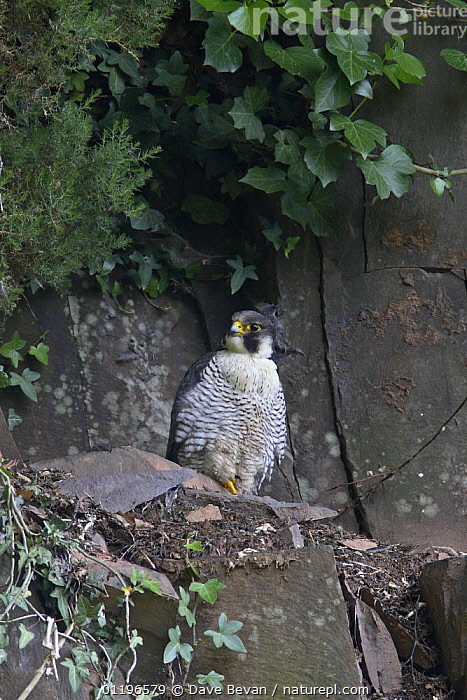 Peregrine falcon (Falco peregrinus) male perched at nest on rock ledge, Wales, UK, May  ,  BIRDS,BIRDS OF PREY,CLIFFS,EUROPE,FALCONS,MALES,NESTS,TIERCEL,UK,VERTEBRATES,VERTICAL,WALES,United Kingdom,Geology,British  ,  Dave Bevan