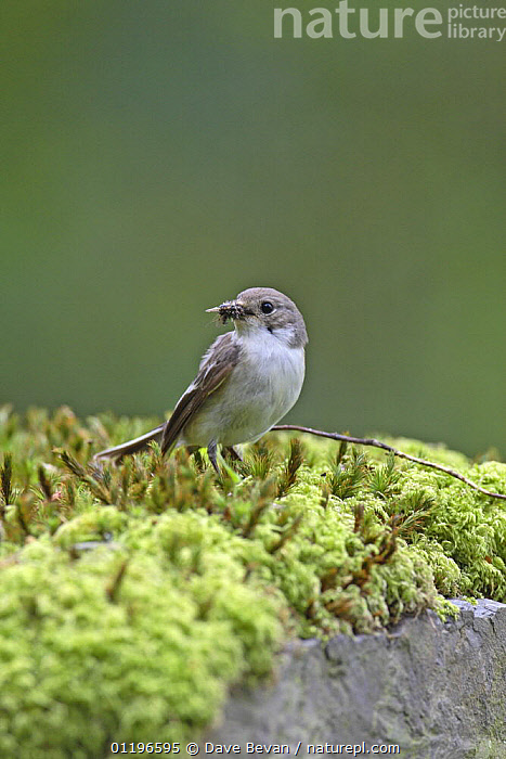 Pied flycatcher (Ficedula hypoleuca) female perched on moss on wall with insect prey in beak, Wales, UK, June  ,  BIRDS,EUROPE,FEMALES,FLYCATCHERS,INSECTS,UK,VERTEBRATES,VERTICAL,WALES,United Kingdom,Invertebrates,British  ,  Dave Bevan