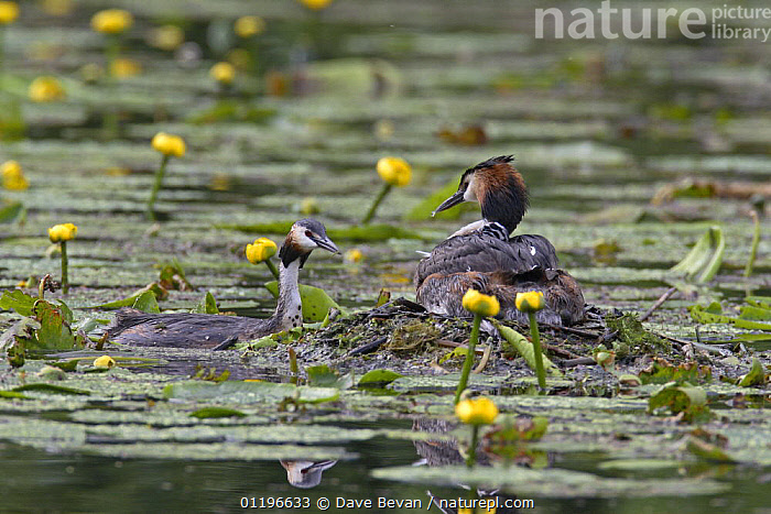 Great crested grebe (Podiceps cristatus) male bringing food to nest to feed chick hiding on female's back, Bedfordshire, UK, June  ,  AQUATIC PLANTS,BIRDS,EUROPE,FAMILIES,FLOWERS,GREBES,MALE FEMALE PAIR,NESTS,PARENTAL BEHAVIOUR,UK,VERTEBRATES,WATER,WATER LILIES,WATERLILIES,United Kingdom,British,Waterfowl  ,  Dave Bevan
