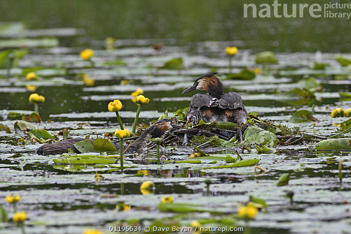 Great crested grebe (Podiceps cristatus) male bringing food to nest to feed chicks hiding on female's back, Bedfordshire, UK, June  ,  AQUATIC PLANTS,BIRDS,CHICKS,EUROPE,FEEDING,FLOWERS,GREBES,MALE FEMALE PAIR,PARENTAL BEHAVIOUR,UK,VERTEBRATES,WATER,WATER LILIES,WATERLILIES,United Kingdom,British,Waterfowl  ,  Dave Bevan