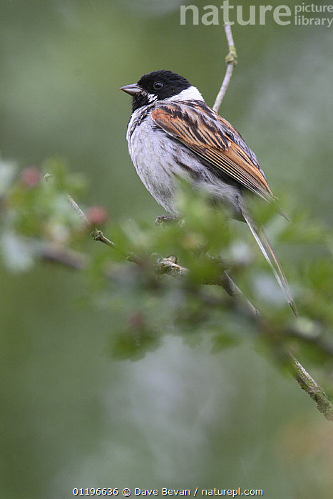 Nature Picture Library Reed Bunting Emberiza Schoeniclus Male Perched Uk June Dave Bevan