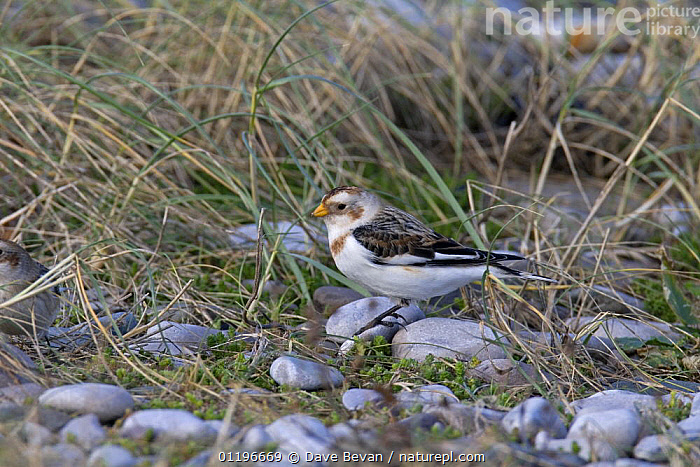 Snow bunting (Plectrophenax nivalis) male in winter plumage searching for seeds on beach, Wales, UK, January  ,  BEACHES,BIRDS,BUNTINGS,COASTS,EUROPE,MALES,PEPPLES,UK,VERTEBRATES,WALES,United Kingdom,British,WEATHER  ,  Dave Bevan