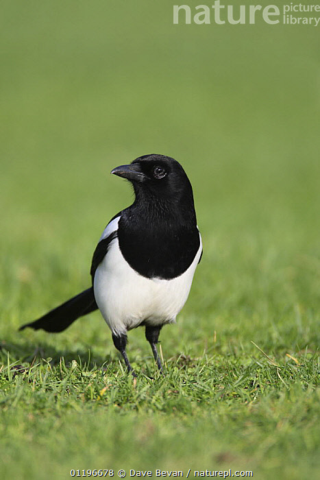 Magpie (Pica pica) Wales, UK, February  ,  BIRDS,BLACK AND WHITE,EUROPE,MAGPIES,PORTRAITS,UK,VERTEBRATES,VERTICAL,WALES,United Kingdom,British,Corvids  ,  Dave Bevan