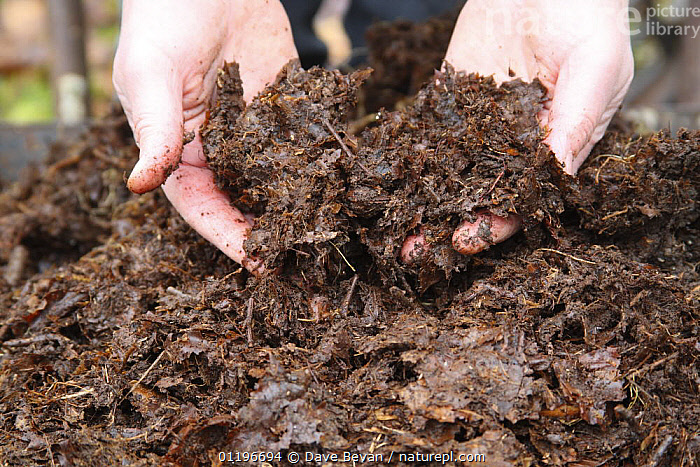Close up of two year old well-rotten leaf mold in garden, UK, model released  ,  COMPOST,COMPOSTING,GARDENS,HANDS,LEAF MOULD,ORGANIC,PEOPLE,RECYCLING,UK,Europe,United Kingdom,British, United Kingdom  ,  Dave Bevan
