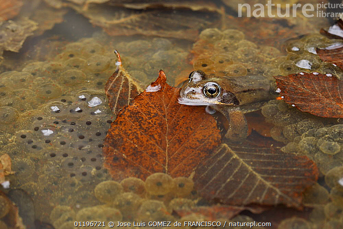 Common frog (Rana temporaria) and frogspawn in a pond, Spain  ,  AMPHIBIANS,ANURA,EGGS,EUROPE,EYES,FRESHWATER,FROGS,HEADS,LEAVES,PONDS,REPRODUCTION,SPAIN,SPAWN,VERTEBRATES,WATER  ,  Jose Luis GOMEZ de FRANCISCO